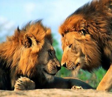 孕妇梦见狮子奔跑,预示着你腹中宝宝生长发育稳定,很健康.
