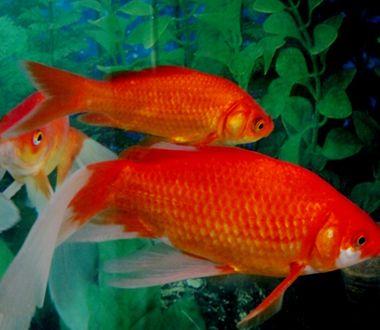 梦见捉到红鲤鱼