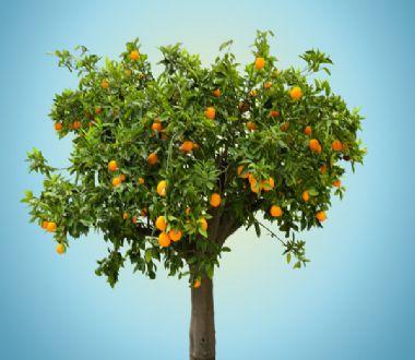 梦见橘子树死了是什么意思 周公解梦 原版周公解梦大全